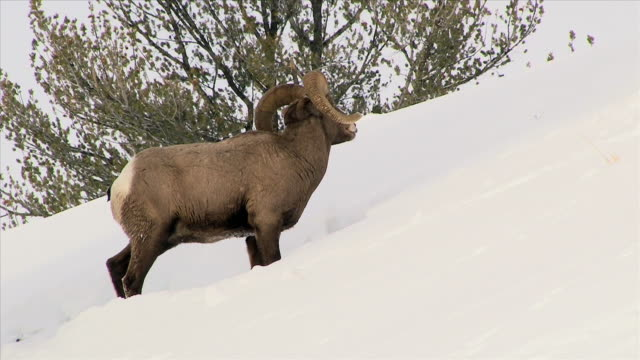 Bighorn Sheep, walks up steep snowy hill, then leaps through snow, Yellowstone National Park in Winter