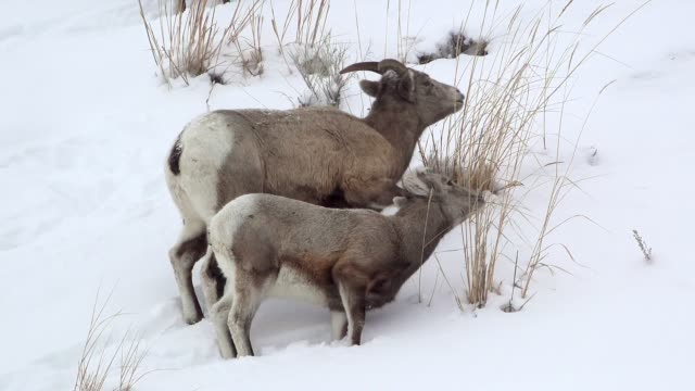bighorn sheep, yellowstone - bighorn sheep stock videos & royalty-free footage