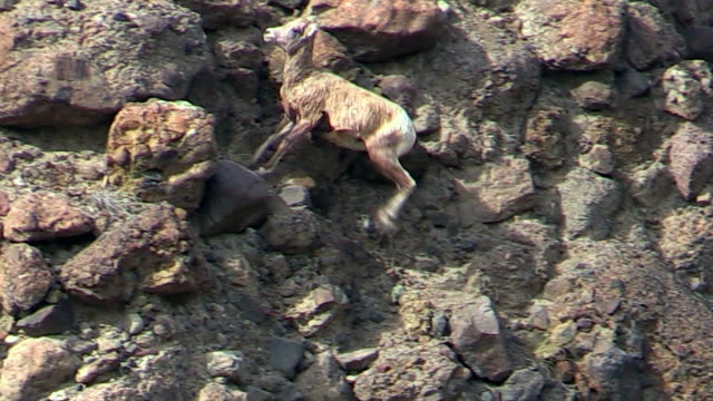 Bighorn sheep,young, runs back and forth on cliff above Gardner River, Yellowstone National Park, Wyoming