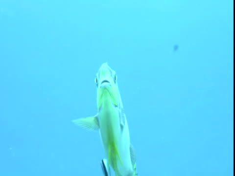 a bignose unicornfish flutters its pretty tail fin. - gill stock videos & royalty-free footage