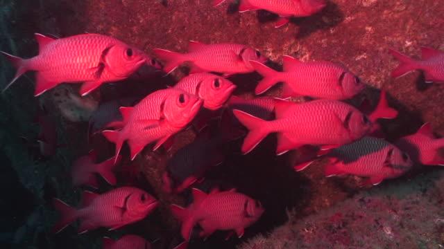 bigscale soldierfish - イットウダイ点の映像素材/bロール