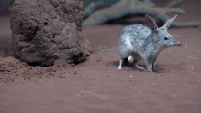 bilby walks into frame, sits up on hind legs, then hops through - foraggiamento video stock e b–roll