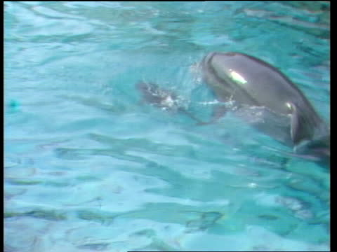 stockvideo's en b-roll-footage met windsor safari park ms mum and baby lr under water ts both surface ms both under water cs dad ms family under water ms ditto - cetacea