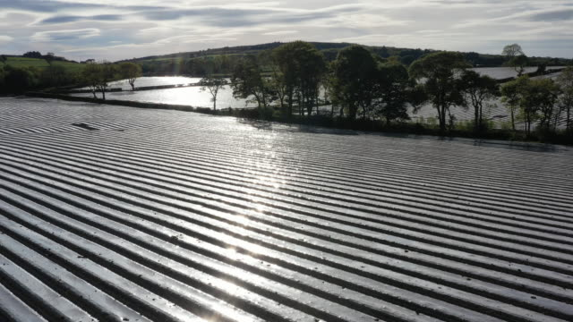 biodegradeable polyester sheeting covers a maize crop on may 16 2020 in rhyl wales agricultural operations in the uk have been able to continue work... - maize stock videos & royalty-free footage