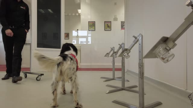 """bio-detection project specialist mark doggett trains """"freya"""" to detect a sample of malaria at the """"medical detection dogs"""" charity headquarters on... - dog stock videos & royalty-free footage"""
