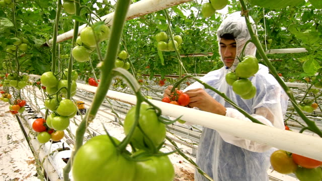 biologist checking tomatoes in greenhouse - greenhouse stock videos & royalty-free footage