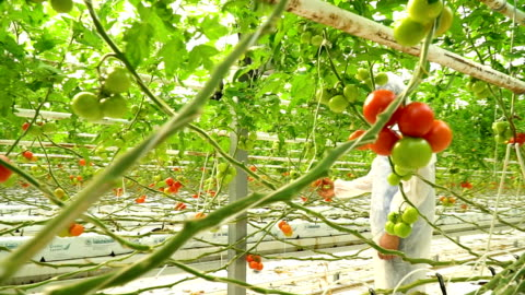 biologist checking tomatoes in greenhouse - seed stock videos & royalty-free footage