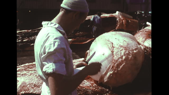 biologist dr. ray gambell measuring mammary gland of dismembered female whale, making notes, vs men working on carcass, fetus sliding out of sack,... - cetaceo video stock e b–roll