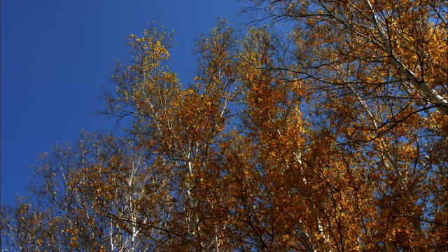 birch forest  autumn leaves  background sky  Makomanai park