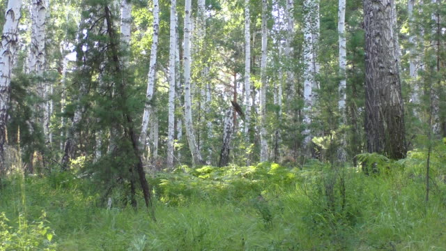 vídeos de stock, filmes e b-roll de birch floresta de - tronco de árvore