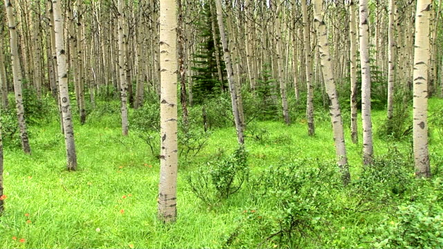birch forest - laubbaum stock-videos und b-roll-filmmaterial