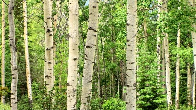 stockvideo's en b-roll-footage met birch forest - berk