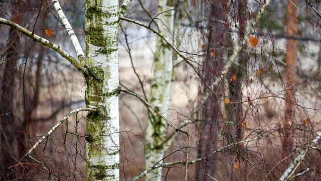 birch gets wet from sleet. - plant bark stock videos and b-roll footage