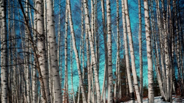 birch grove in winter - stock video - hardwood stock videos & royalty-free footage