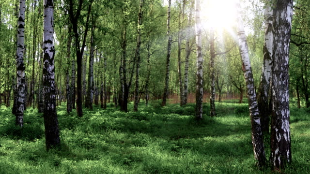 birch grove panoramic landscape - plant bark stock videos and b-roll footage