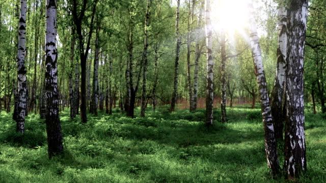 birch grove panoramic landscape - plant bark stock videos & royalty-free footage