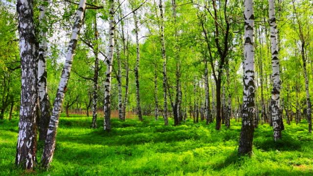 stockvideo's en b-roll-footage met birch grove - berk