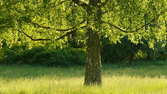 stockvideo's en b-roll-footage met a birch in the center in evening light in the summer - bos