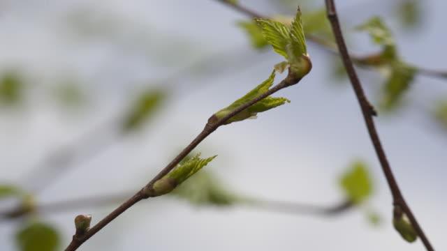 vidéos et rushes de t/l birch (betula sp.) leaf bud burst, united kingdom - bouton de fleur