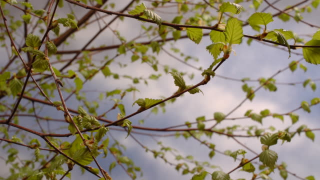 t/l birch (betula sp.) leaf bud burst, united kingdom - germoglio video stock e b–roll