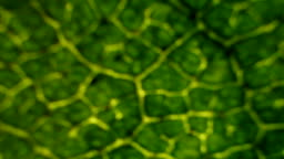 Birch leaf under the microscope