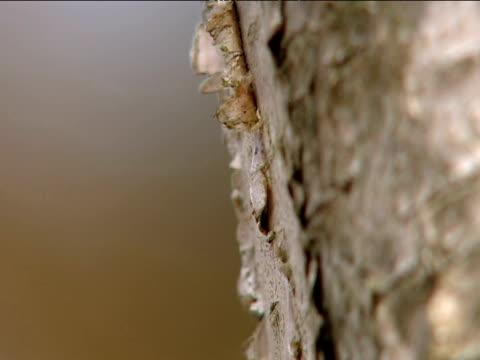 birch sap drips down tree bark uk - カバノキ点の映像素材/bロール