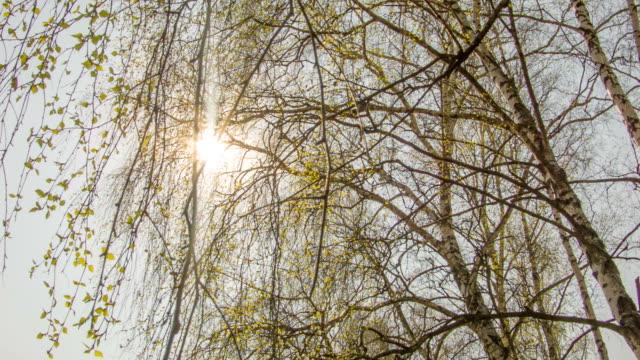 foglie di primavera di betulla - germoglio video stock e b–roll