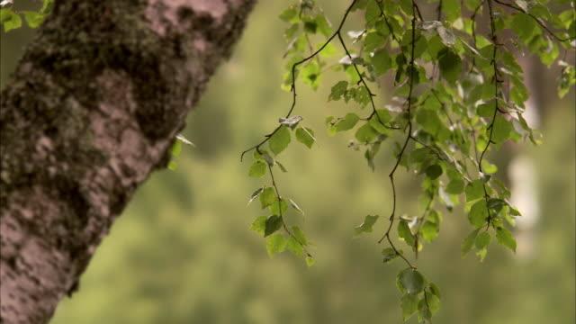 A birch Sweden.