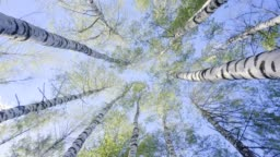 Birch Tops in the Spring Forest