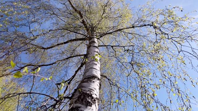 birch tree against blue sky in spring - カバノキ点の映像素材/bロール