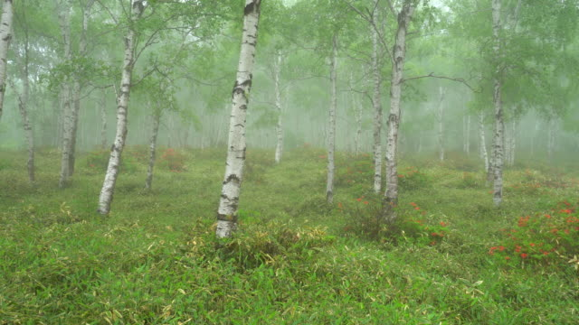 birch tree forest in rainy day - nagano prefecture stock videos and b-roll footage