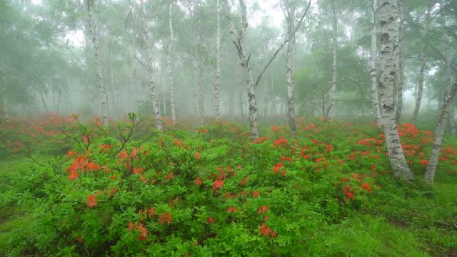 stockvideo's en b-roll-footage met berken boom bos in regenachtige dag - berk