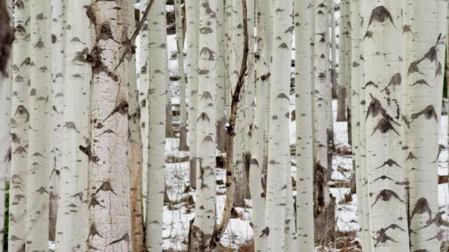 Birch tree forest in winter, tilt up