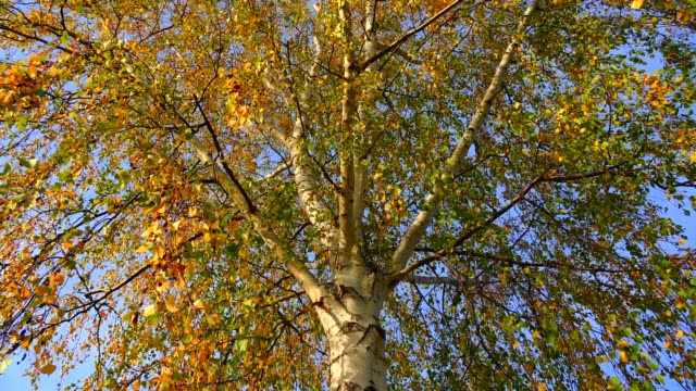 Birch tree in autumn, Rhineland-Palatinate, Germany, Europe