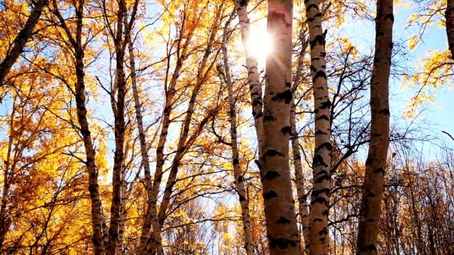 stockvideo's en b-roll-footage met birch tree in autumu - berk