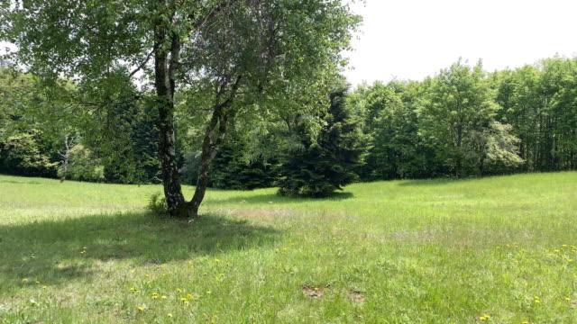 birch tree on meadow - tree area stock videos & royalty-free footage