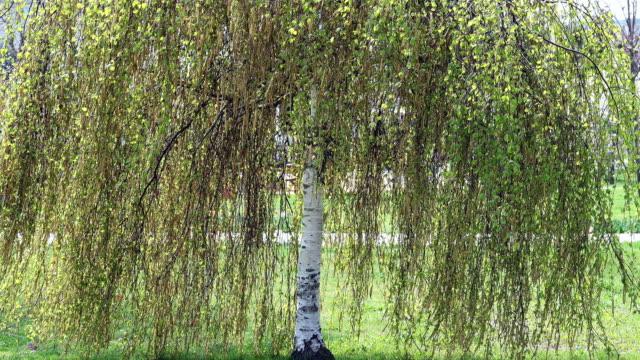 stockvideo's en b-roll-footage met birch tree - berk