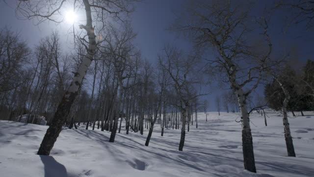 Birch trees cast shadows on snow as the sun passes overhead.