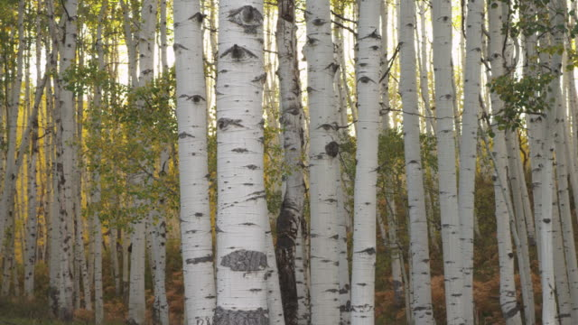 Birch trees in Utah forest