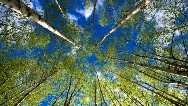 Birken an einem sonnigen Tag