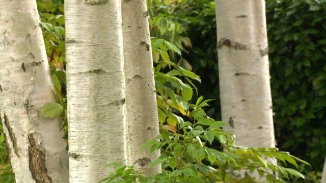 birches - カバノキ点の映像素材/bロール