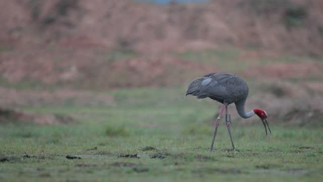 bird : adult sarus crane (antigone antigone) - high section stock videos & royalty-free footage