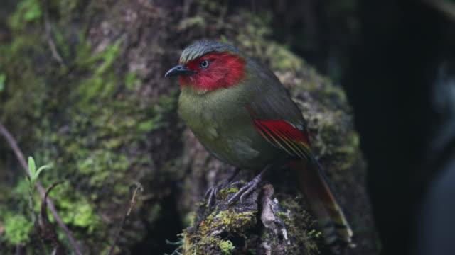 bird : adult scarlet-faced liochichla (liochichla ripponi) - beak stock videos & royalty-free footage