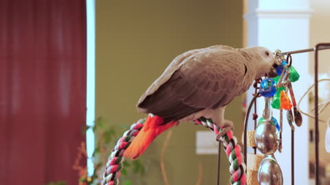 bird african grey parrot biting toys - tamdjur bildbanksvideor och videomaterial från bakom kulisserna