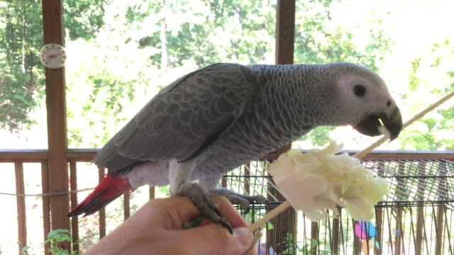 bird african grey parrot eating cabbage - feeding stock videos & royalty-free footage
