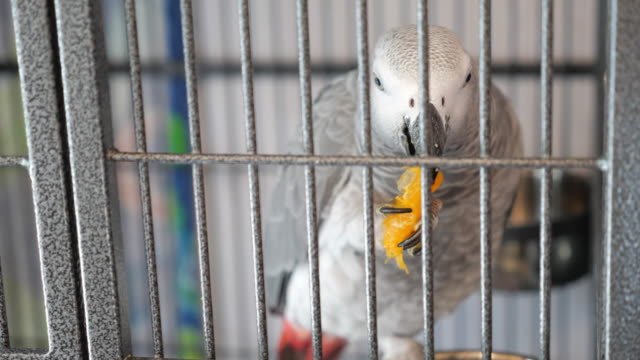 bird african grey parrot eating orange from inside the cage during the 2020 coronavirus pandemic which requires quarantine and social distancing - gabbia per gli uccelli video stock e b–roll