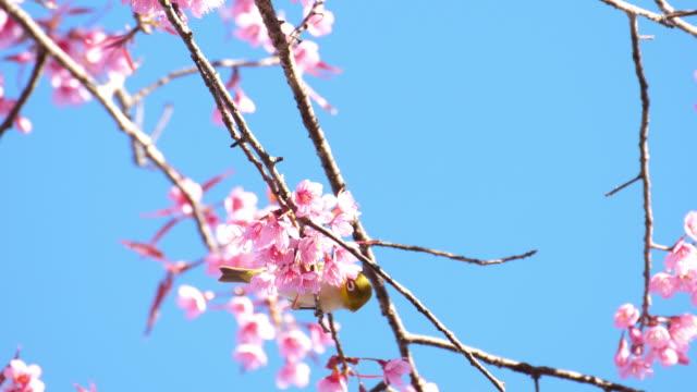 鳥と桜と青空 - 翼を広げる点の映像素材/bロール