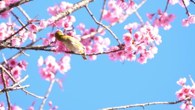 vídeos de stock e filmes b-roll de bird and cherry blossoms and blue sky - movimento perpétuo