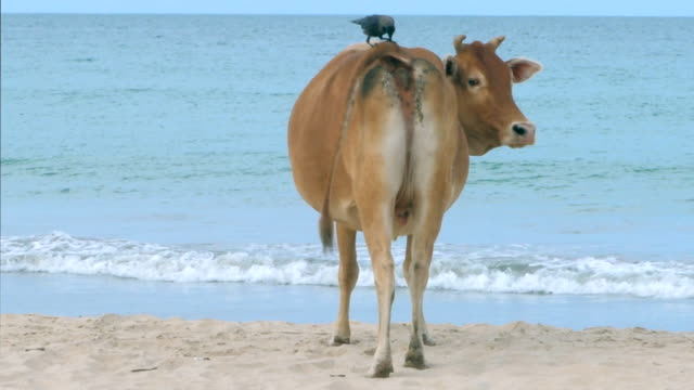 bird and cow on the beach - symbiotic relationship stock videos & royalty-free footage