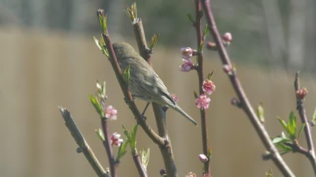stockvideo's en b-roll-footage met bird and peach tree blossoms - fruitboom